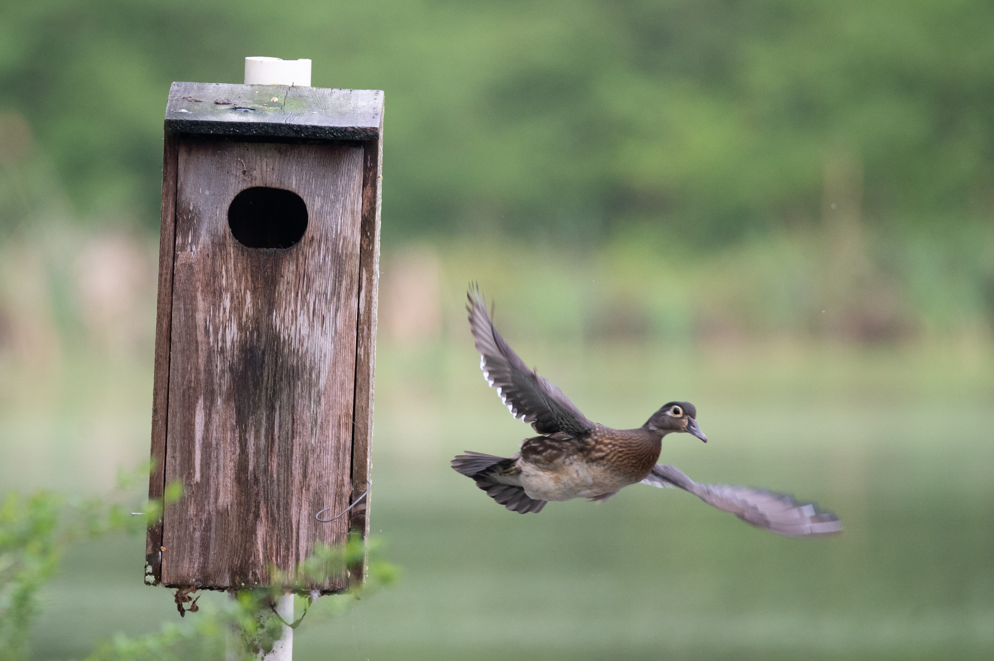 hen-wood-duck-leaving-her-nest-for-morning-feed-by-jeremy-peele