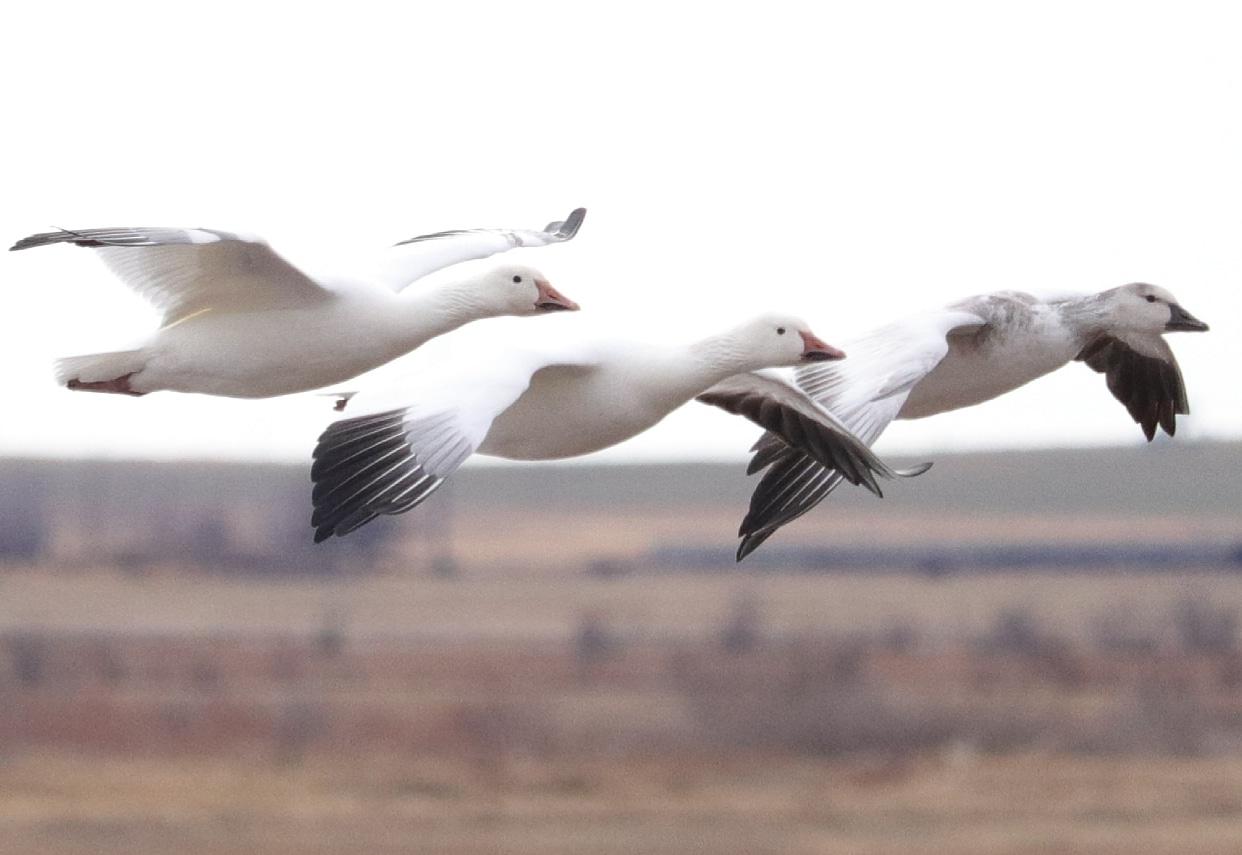 Three-snow-geese