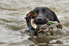 Allie With Green-Winged Teal