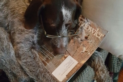 german-wirehair-dozer